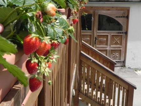 Jagode na balkonu