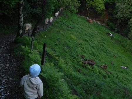Matic žene krave domov