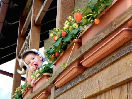 Matic zoba jagode na balkonu