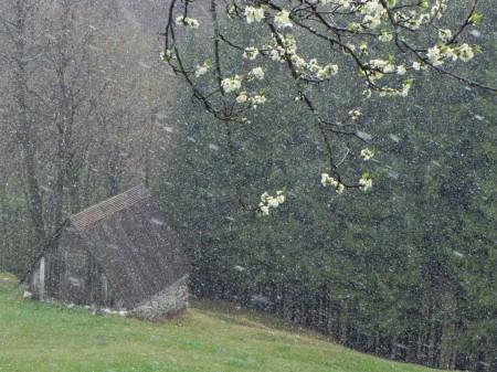 Sneži&hruška cveti