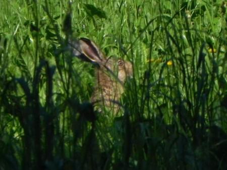 divji zajec v travi