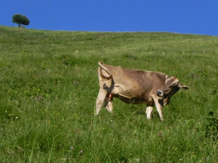 krava na Čadrškem vrhu