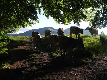 krave gredo s pašnika