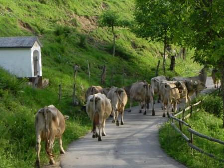 krave prihajajo na molžo