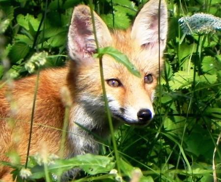 lisica prišla na češnje